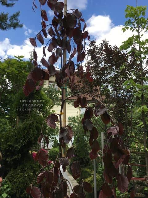 Бук лесной краснолистный плакучий (Fagus sylvatica Purple Fountain) ФОТО Питомник растений Природа (4)