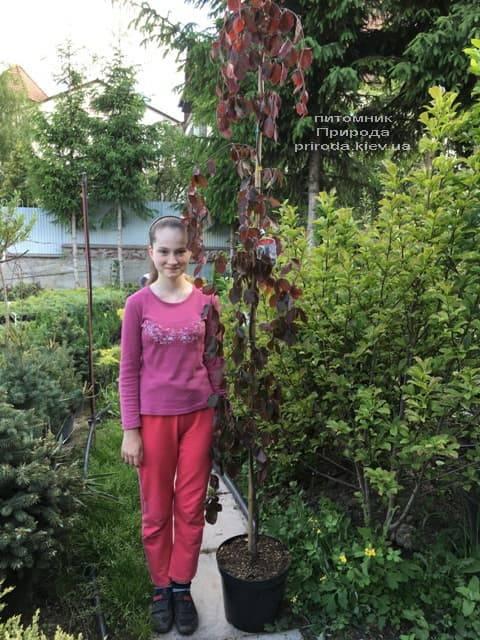 Бук лесной краснолистный плакучий (Fagus sylvatica Purple Fountain) ФОТО Питомник растений Природа (5)