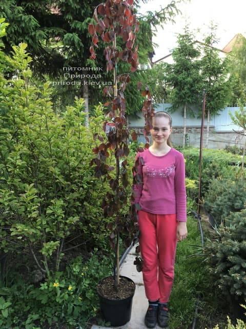 Бук лесной краснолистный плакучий (Fagus sylvatica Purple Fountain) ФОТО Питомник растений Природа (6)