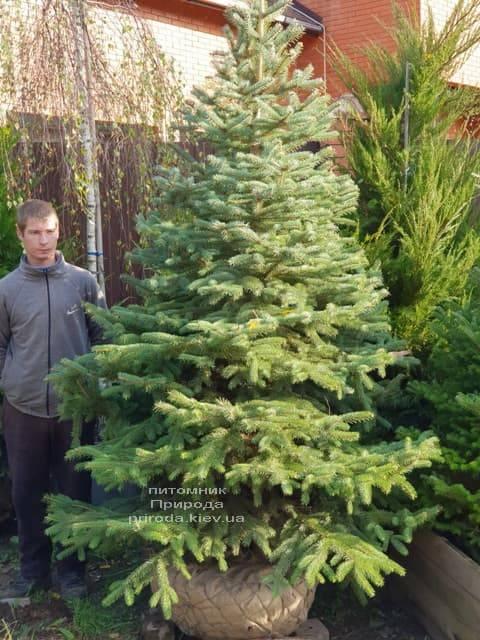 Ель Глаука (Picea pungens Glauca) ФОТО Питомник растений Природа (1)