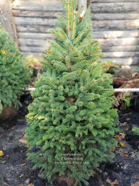 Ель Глаука (Picea pungens Glauca) ФОТО Питомник растений Природа (2)