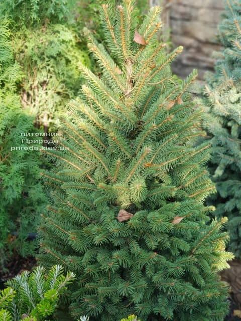 Ель Глаука (Picea pungens Glauca) ФОТО Питомник растений Природа (3)