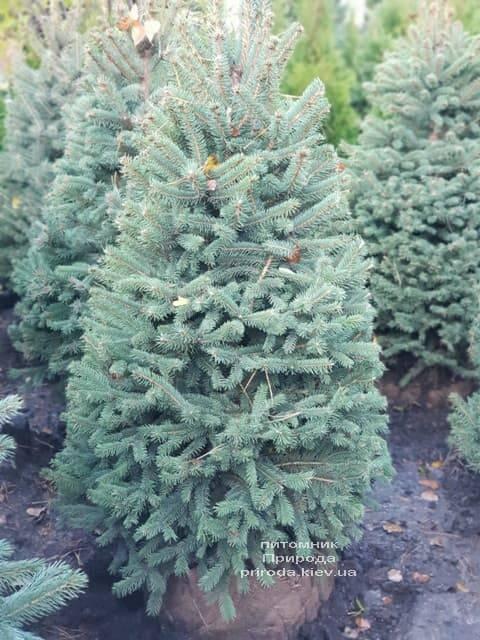 Ель Глаука (Picea pungens Glauca) ФОТО Питомник растений Природа (4)