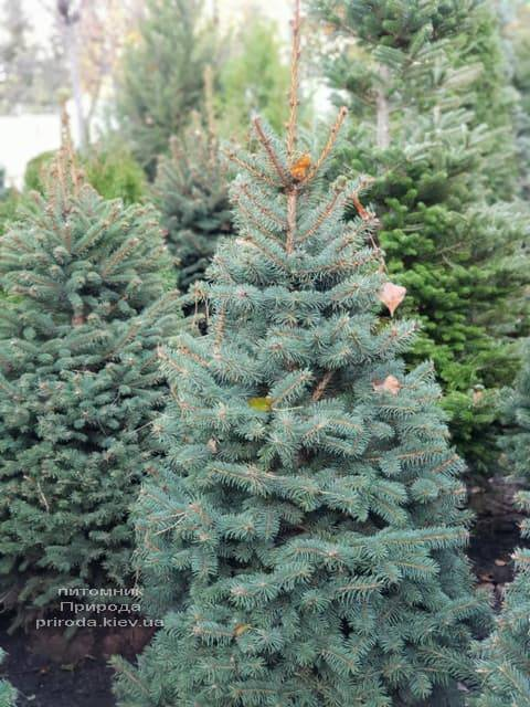 Ель Глаука (Picea pungens Glauca) ФОТО Питомник растений Природа (5)
