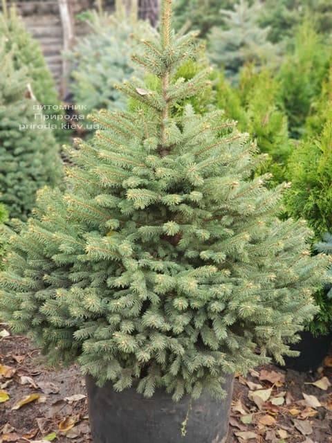 Ель Глаука (Picea pungens Glauca) ФОТО Питомник растений Природа (6)
