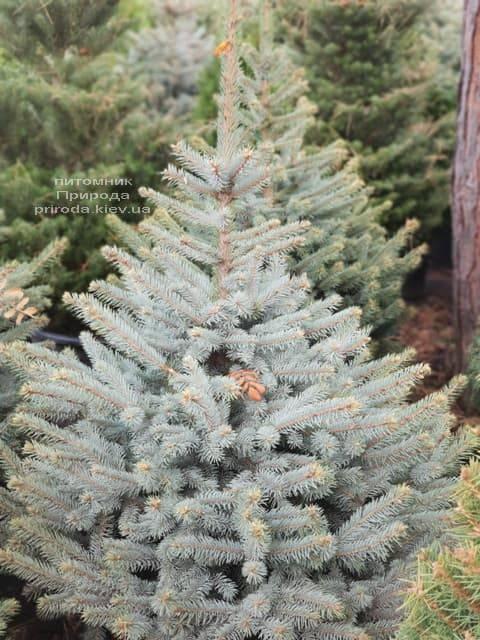 Ель Глаука (Picea pungens Glauca) ФОТО Питомник растений Природа (7)