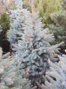 Ель Глаука (Picea pungens Glauca) ФОТО Питомник растений Природа (8)