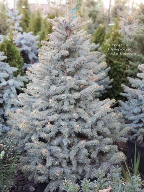 Ель Глаука (Picea pungens Glauca) ФОТО Питомник растений Природа (9)