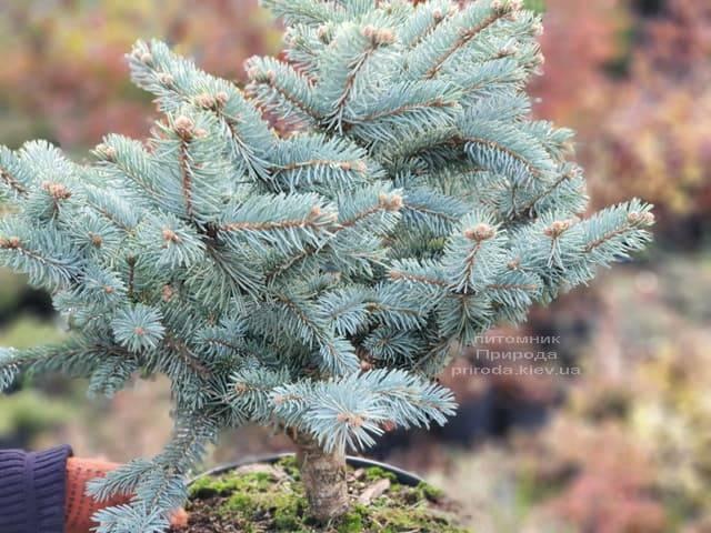 Ель голубая Биалобок (Picea pungens Bialobok) ФОТО Питомник растений Природа (1)