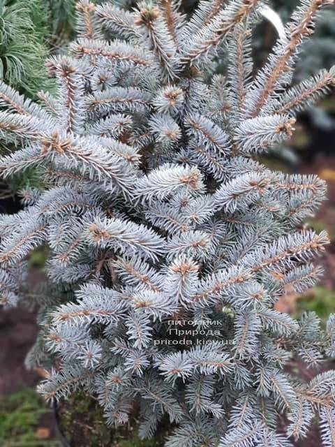 Ель голубая Блю Тринкет (Picea pungens Blue Trinket) ФОТО Питомник растений Природа (3)