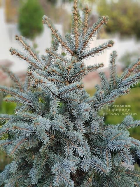 Ель голубая Блю Тринкет (Picea pungens Blue Trinket) ФОТО Питомник растений Природа (5)