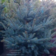 Ель голубая Ель Фат Альберт (Picea pungens Fat Albert) ФОТО Питомник растений Природа (1)