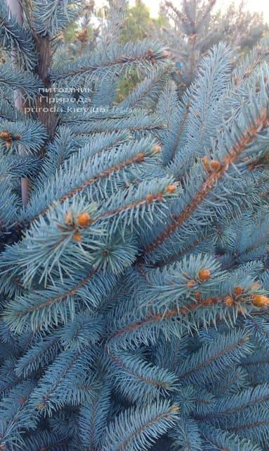 Ель голубая Фат Альберт (Picea pungens Fat Albert) ФОТО Питомник растений Природа (2)