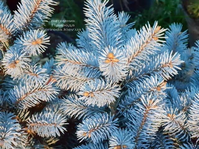 Ель Глаука Глобоза (Picea pungens Glauca Globosa) ФОТО Питомник растений Природа (6)