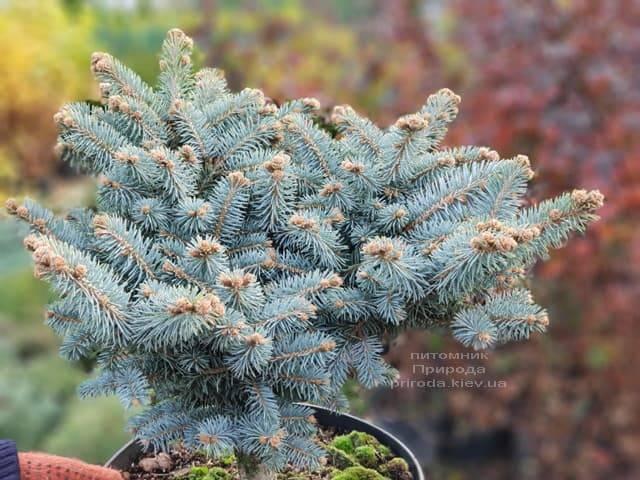 Ель Глаука Глобоза (Picea pungens Glauca Globosa) ФОТО Питомник растений Природа (8)