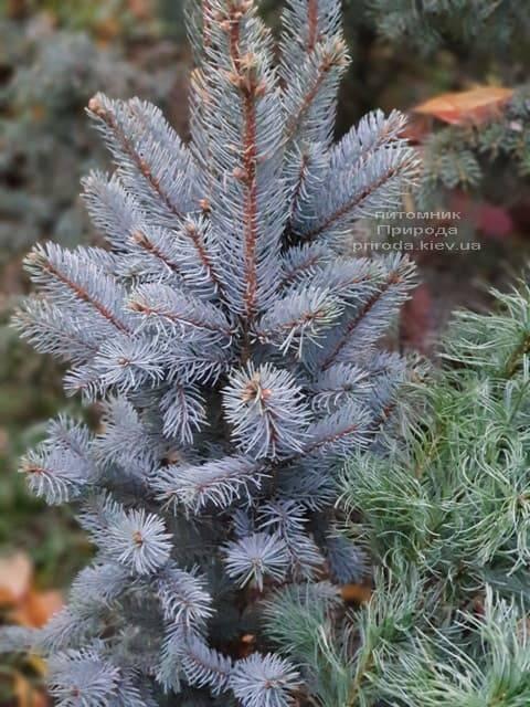 Ель голубая Исели Фастигиата (Picea pungens Iseli Fastigiata) ФОТО Питомник растений Природа (Priroda) (2)