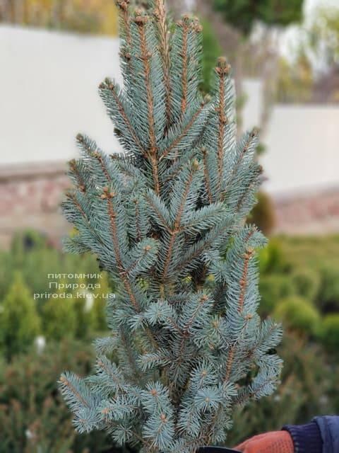 Ель голубая Исели Фастигиата (Picea pungens Iseli Fastigiata) ФОТО Питомник растений Природа (Priroda) (3)