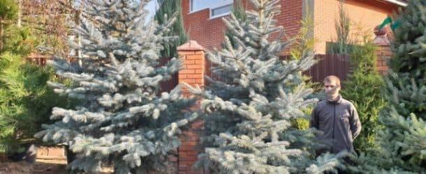 Ель голубая Эдит (Picea pungens Edith) ФОТО Питомник растений Природа (3)