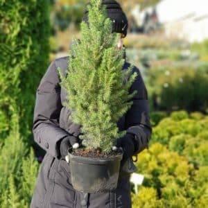 Ель канадская Коника (Picea glauca Conica) ФОТО Питомник растений Природа (7)