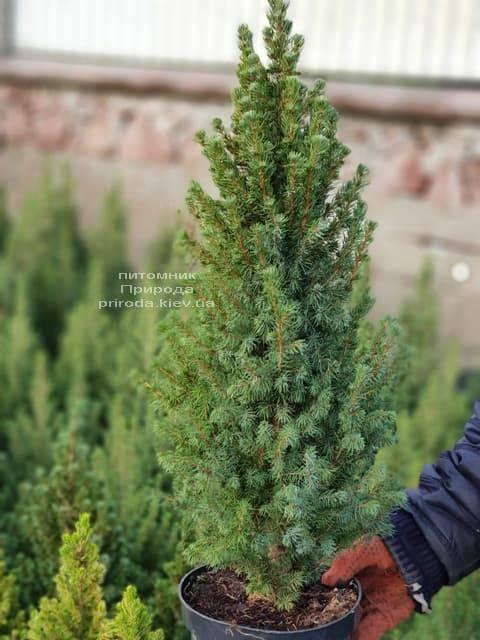 Ель канадская Сан он зе Скай (Picea glauca Sun on the Sky) ФОТО Питомник растений Природа (1)