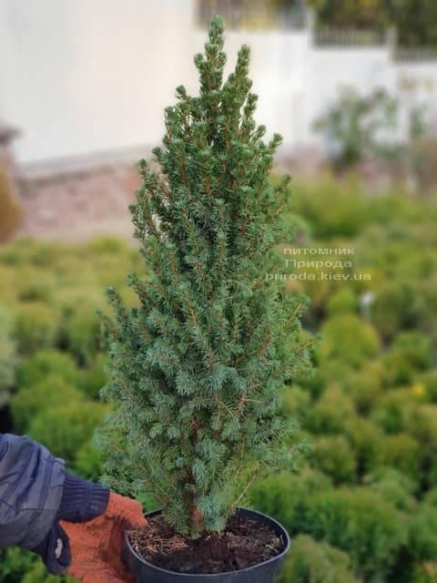 Ель канадская Сан он зе Скай (Picea glauca Sun on the Sky) ФОТО Питомник растений Природа (2)