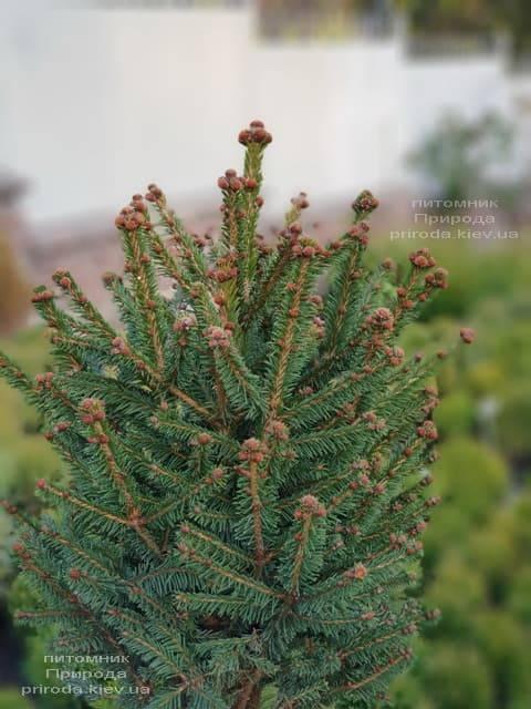 Ель обыкновенная Компакта (Picea abies Compacta) ФОТО Питомник растений Природа (1)