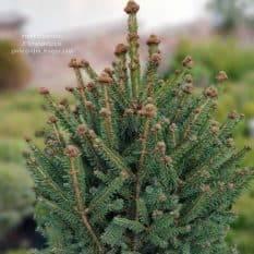 Ель обыкновенная Компакта (Picea abies Compacta) ФОТО Питомник растений Природа (3)