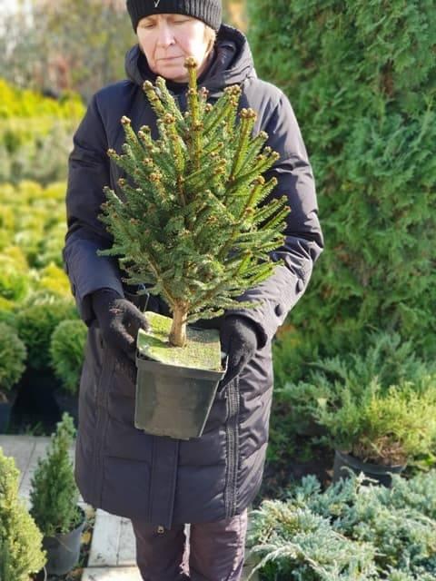 Ель обыкновенная Компакта (Picea abies Compacta) ФОТО Питомник растений Природа (4)