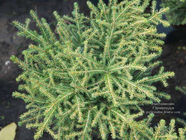 Ель обыкновенная Нидиформис (Picea abies Nidiformis) ФОТО Питомник растений Природа (5)