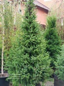 Ель Сербская (Picea omorica) ФОТО Питомник растений Природа (15)