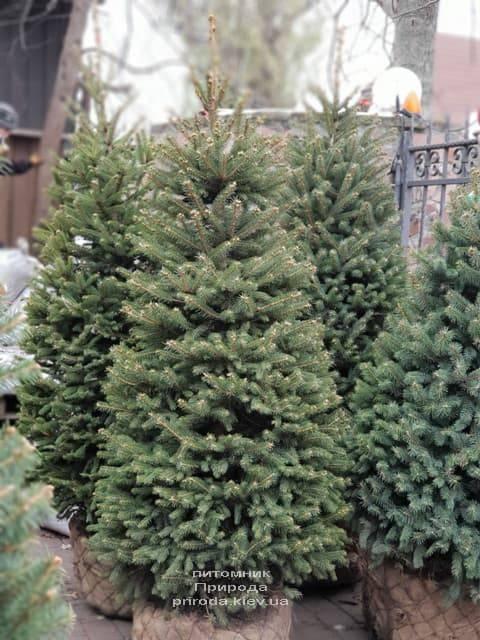 Ель зелёная колючая Глаука (Picea pungens Glauca) ФОТО Питомник растений Природа (24)