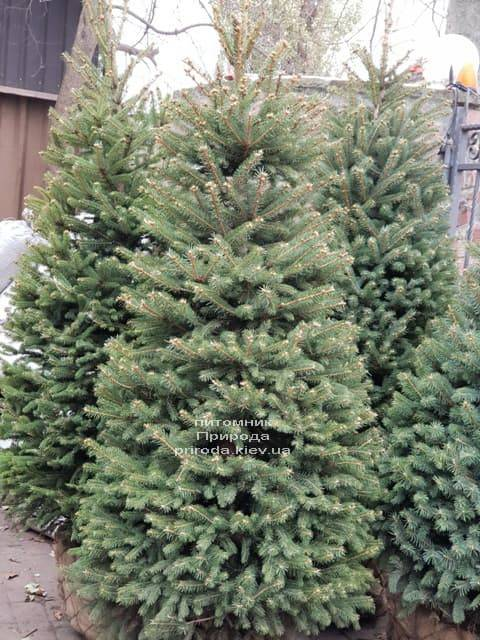 Ель зелёная колючая Глаука (Picea pungens Glauca) ФОТО Питомник растений Природа (21)