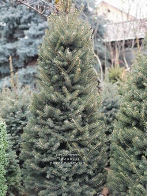 Ель зелёная колючая Глаука (Picea pungens Glauca) ФОТО Питомник растений Природа (22)