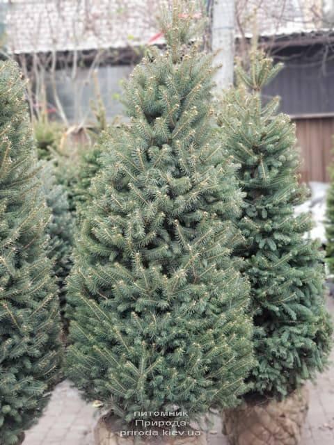 Ель зелёная колючая Глаука (Picea pungens Glauca) ФОТО Питомник растений Природа (23)