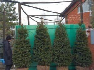 Ель зелёная колючая Глаука (Picea pungens Glauca) ФОТО Питомник растений Природа (30)