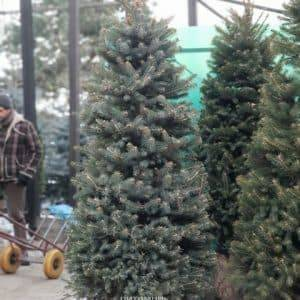 Ель зелёная колючая Глаука (Picea pungens Glauca) ФОТО Питомник растений Природа (27)