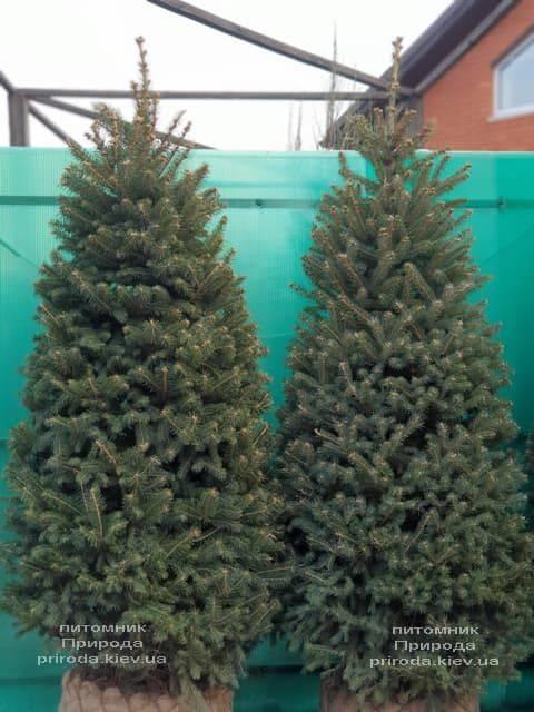 Ель зелёная колючая Глаука (Picea pungens Glauca) ФОТО Питомник растений Природа (29)