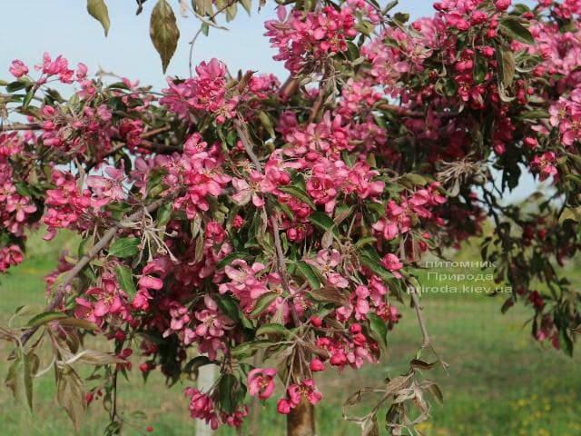 Яблоня райская декоративная Роял Бьюти (Malus Royal Beauty) плакучая на штамбе ФОТО Питомник растений Природа (1)
