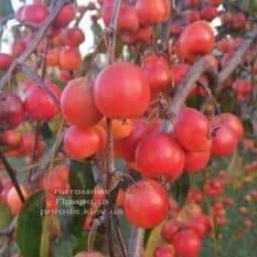 Яблоня райская декоративная Роял Бьюти (Malus Royal Beauty) плакучая на штамбе ФОТО Питомник растений Природа (2)