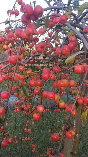 Яблоня райская декоративная Роял Бьюти (Malus Royal Beauty) плакучая на штамбе ФОТО Питомник растений Природа (3)
