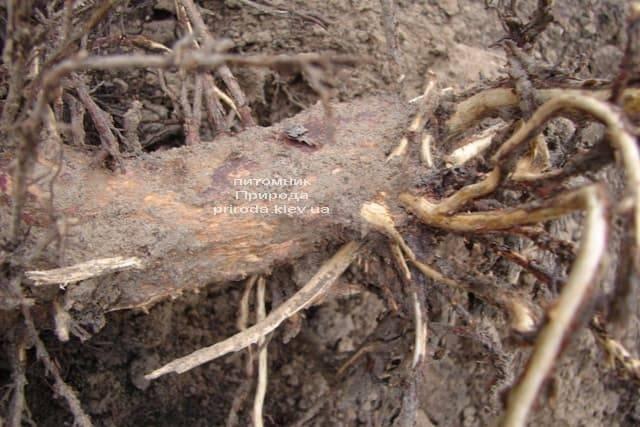 Корневая система туи объедена личинками майского жука
