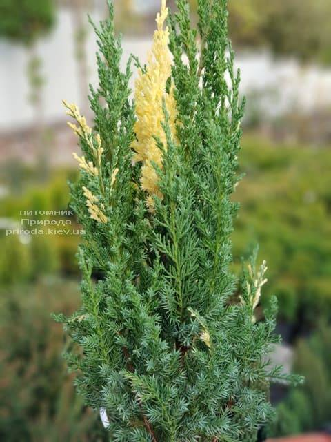 Можжевельник китайский Вариегата (Juniperus chinensis Variegata) ФОТО Питомник растений Природа (2)