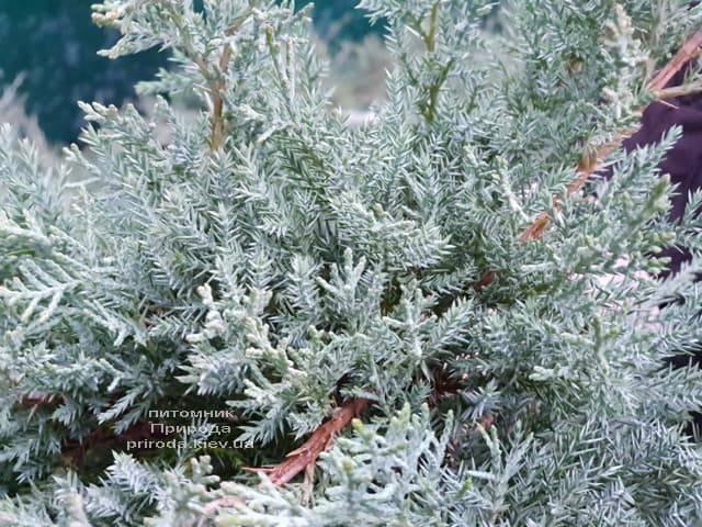 Можжевельник средний Пфитцериана Глаука (Juniperus media Pfitzeriana Glauca) ФОТО Питомник растений Природа (3)
