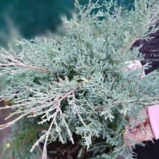 Можжевельник средний Пфитцериана Глаука (Juniperus media Pfitzeriana Glauca) ФОТО Питомник растений Природа (5)