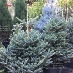 Пихта корейская Силберлок (Abies koreana Silberlocke) ФОТО Питомник растений Природа (6)