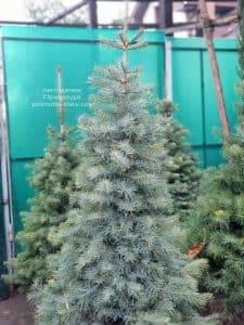 Пихта одноцветная (Abies Concolor) ФОТО Питомник растений Природа (2)