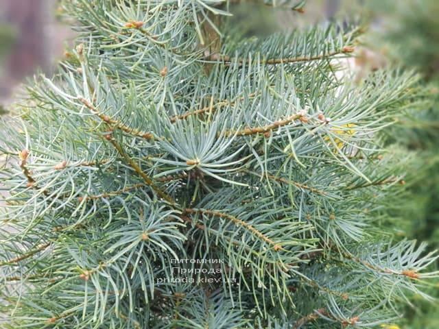 Пихта одноцветная (Abies Concolor) ФОТО Питомник растений Природа (5)