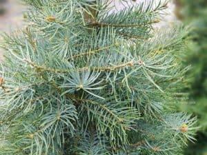 Пихта одноцветная (Abies Concolor) ФОТО Питомник растений Природа (6)