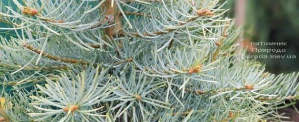 Пихта одноцветная (Abies Concolor) ФОТО Питомник растений Природа (8)