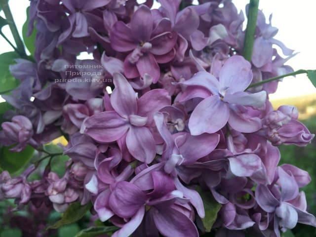 Сирень Богдан Хмельницкий (Syringa vulgaris Bogdan Khmelnitskiy) ФОТО Питомник растений Природа (5)